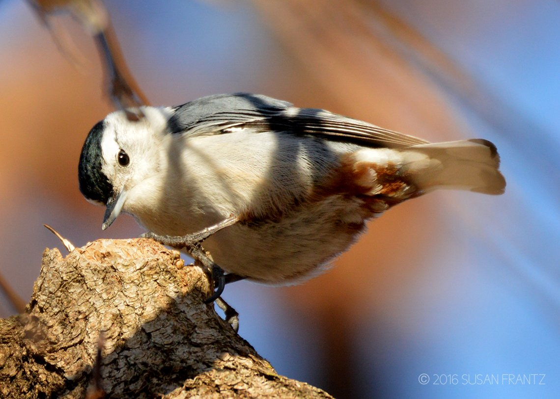 White-breasted Nuthatch | Saylorville Lake